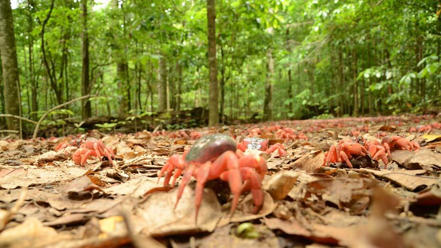 Red Crab Migration - Network Ten